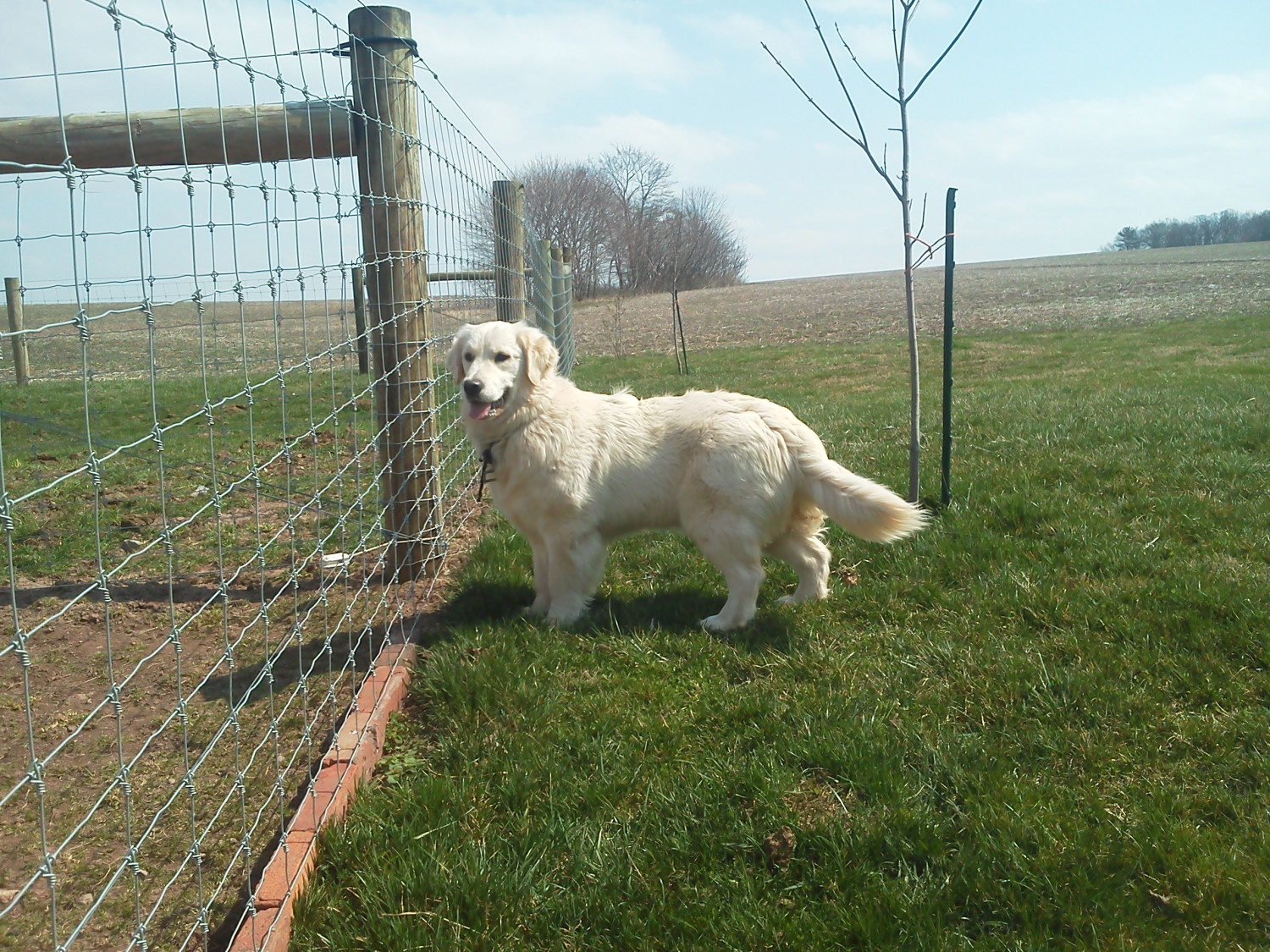 Golden Retriever Puppies For Sale Lykens Pa 276775