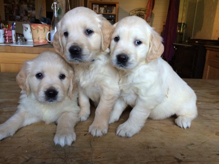 golden retriever puppies for sale in illinois golden retriever puppies for sale springfield il 282127 5376