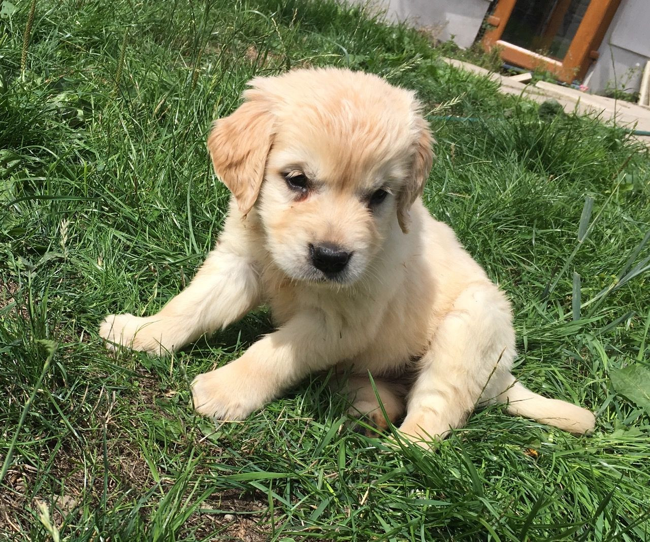 Golden Retriever Puppies For Sale | Sterling, OH #282629