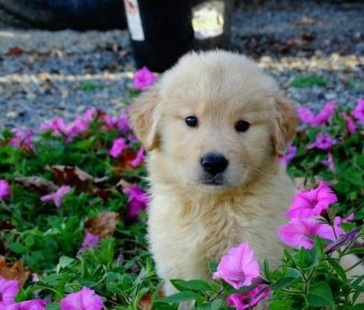 golden retriever puppies for sale in illinois golden retriever puppies for sale chicago il 282692 3308