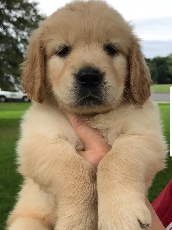 Golden Retriever Puppies For Sale Pottstown Pa 283375