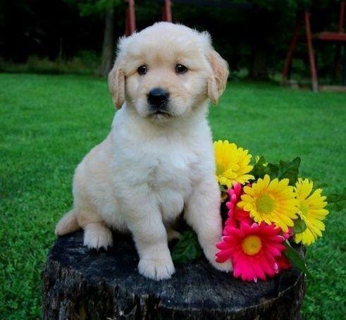 Golden Retriever Puppies For Sale Sacramento Ca 284040