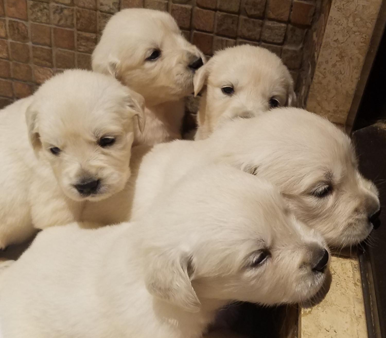 Golden Retriever Puppies For Sale Carson City Mi 284545