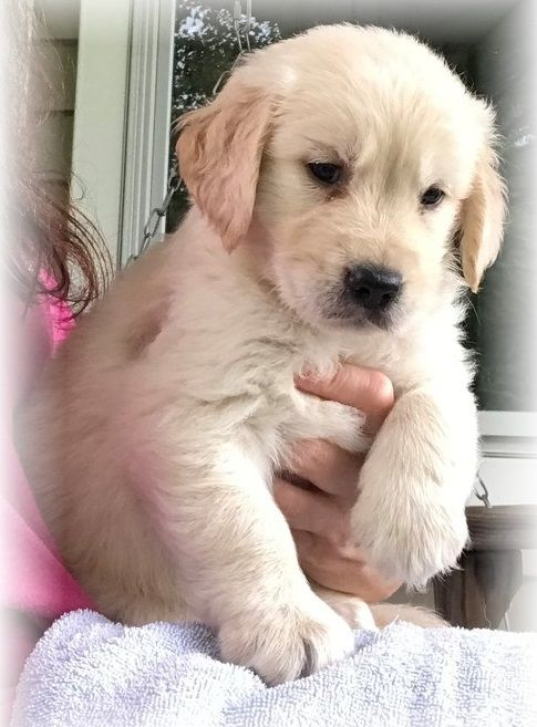 Golden Retriever Puppies For Sale Houston Tx 287523