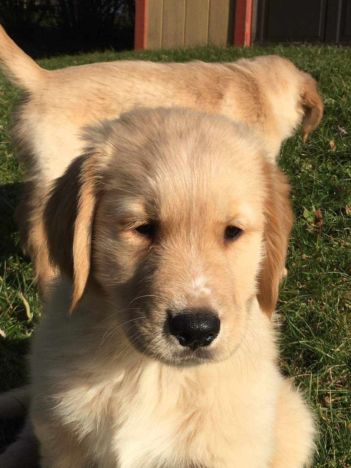 Golden Retriever Puppies For Sale Beaver Falls Pa 288748