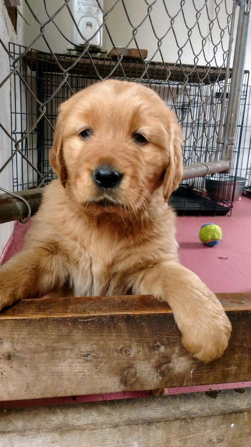 Golden Retriever Puppies For Sale | Collier County, FL #290436