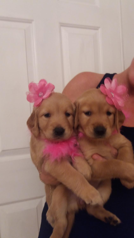 Golden Retriever Puppies For Sale | Gainesville, FL #291217