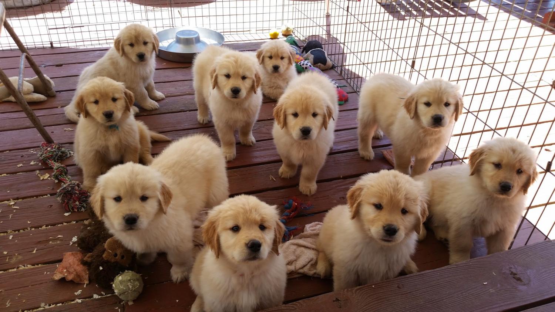 Golden Retriever Puppies For Sale | Los Angeles, CA #291531