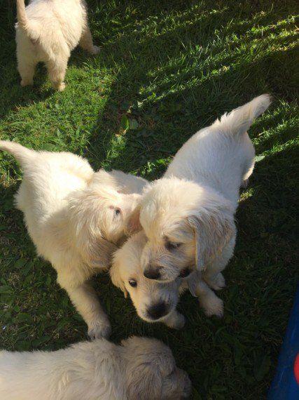 Golden Retriever Puppies San Jose
