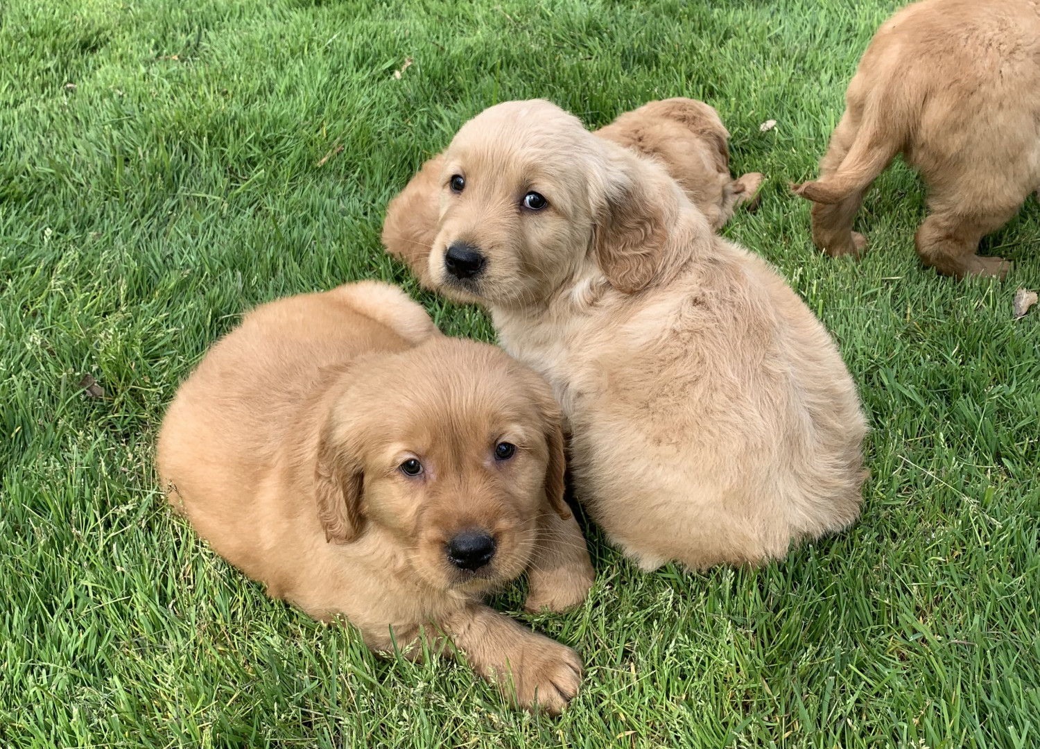 Golden Retriever Puppy For Sale (Imported & Champion ...