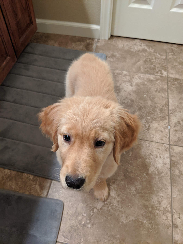 Golden retriever puppies for sale concord nc restaurants