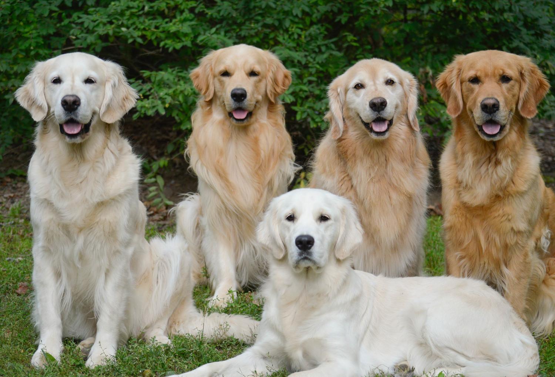 akita vs golden retriever breed comparison mydogbreeds