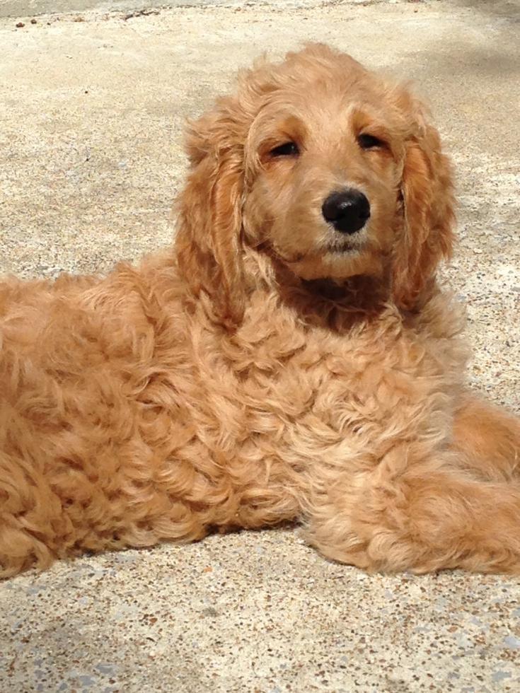 Goldendoodle Puppies For Sale Nashville Tn 75800