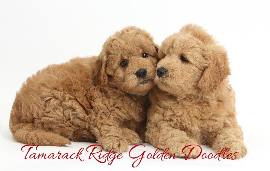 Goldendoodle Puppies For Sale Spokane Wa 90327