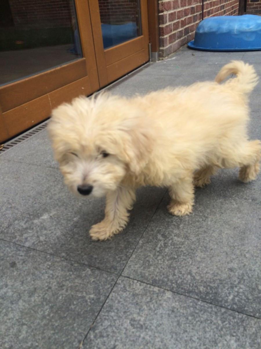 Goldendoodle Puppies For Sale Minnesota Street Saint Paul Mn 167585
