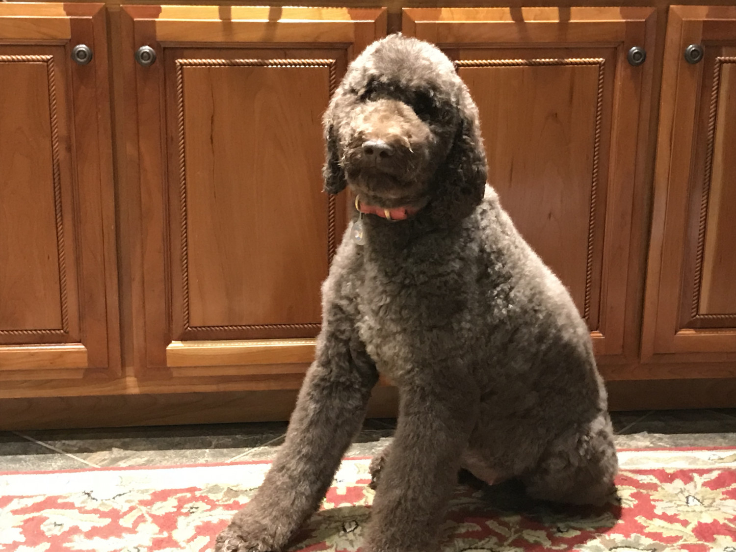 Goldendoodle Puppies For Sale Ooltewah Tn 261630