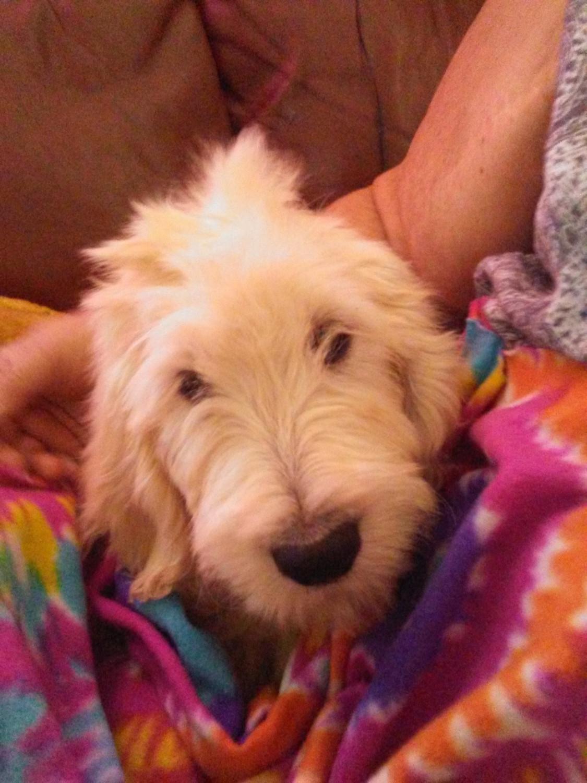 Goldendoodle Puppies For Sale Golden Valley Az 281917