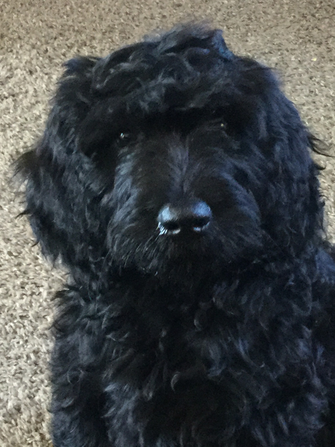 chiuaua puppies for sale in ky goldendoodle puppies for sale mount sterling ky 303265 7672