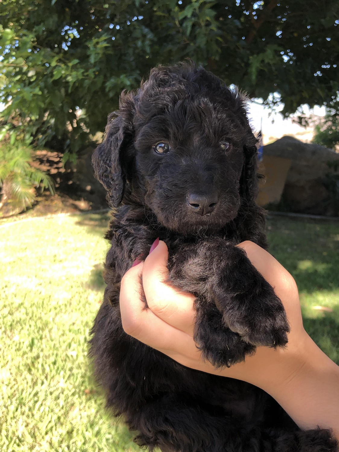 Goldendoodle Puppies For Sale Homeland Ca 303744