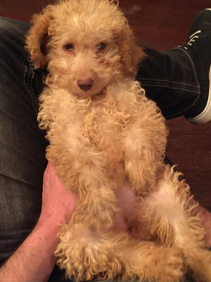 Goldendoodle Puppies For Sale Colorado Springs Co 307004