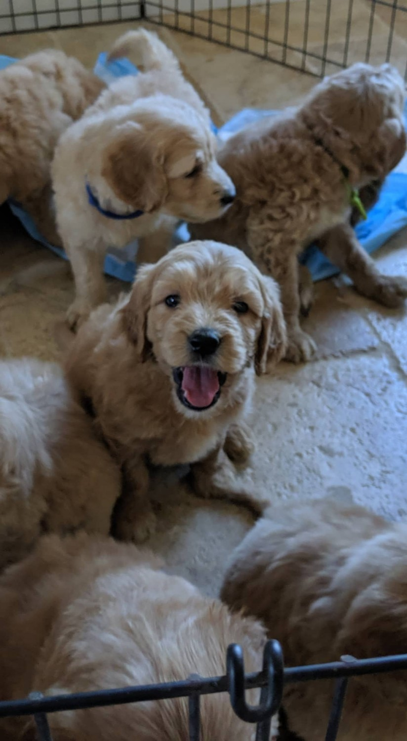 Goldendoodle Puppies For Sale Ontario Ca 307963