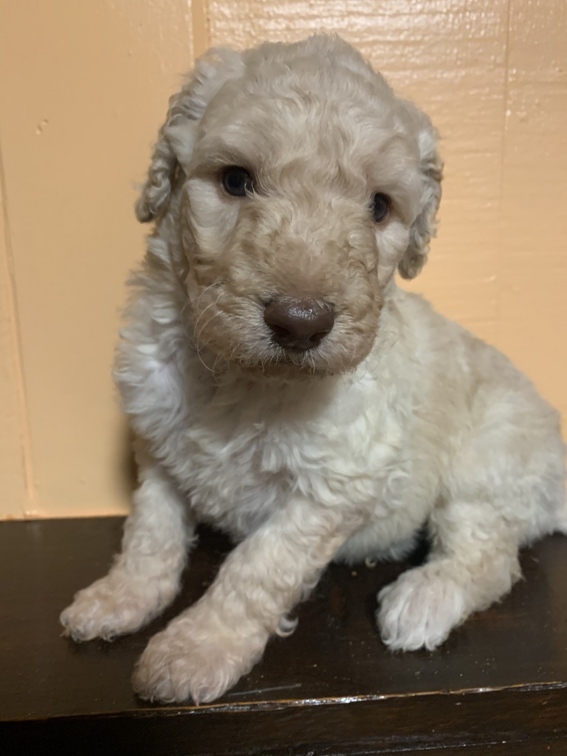 Goldendoodle Puppies For Sale Indianapolis In 314310