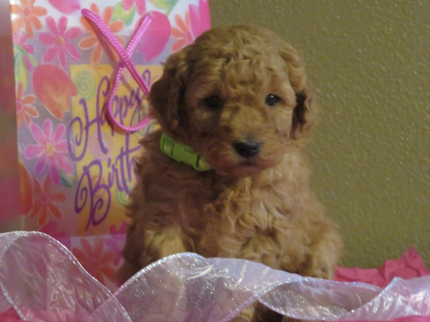 Goldendoodle Puppies For Sale Hancock Mn 319725