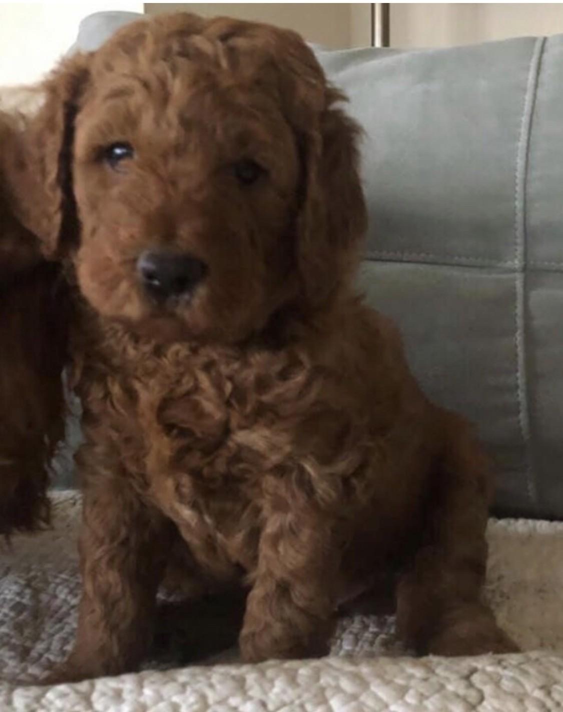 Goldendoodle Puppies For Sale Wayne Nj 320659