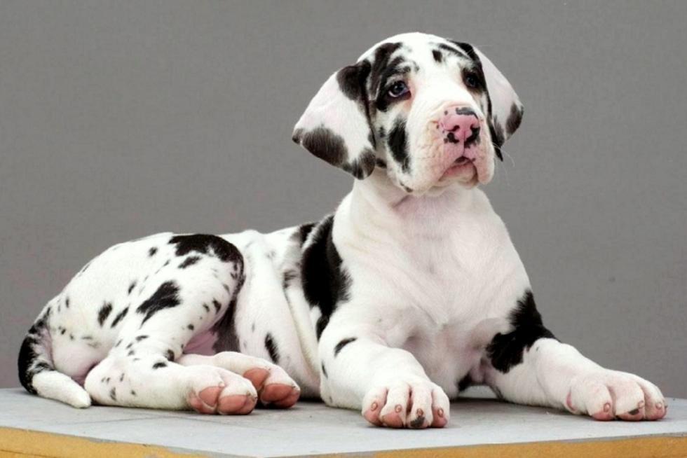 Great Dane Puppies For Sale Tucson Az 87186 Petzlover