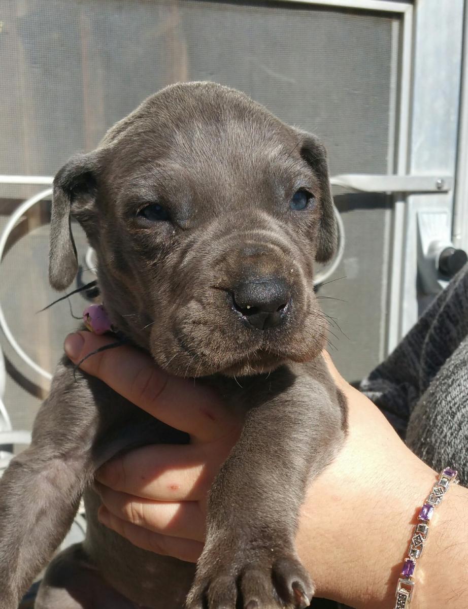 Great Dane Puppies For Sale Noel Mo 115228 Petzlover