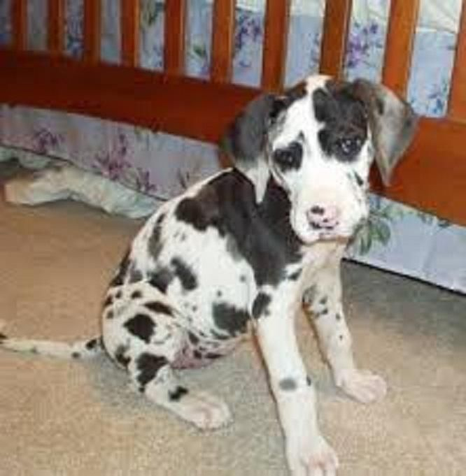 Great Dane Puppies For Sale Honolulu Hi 117185