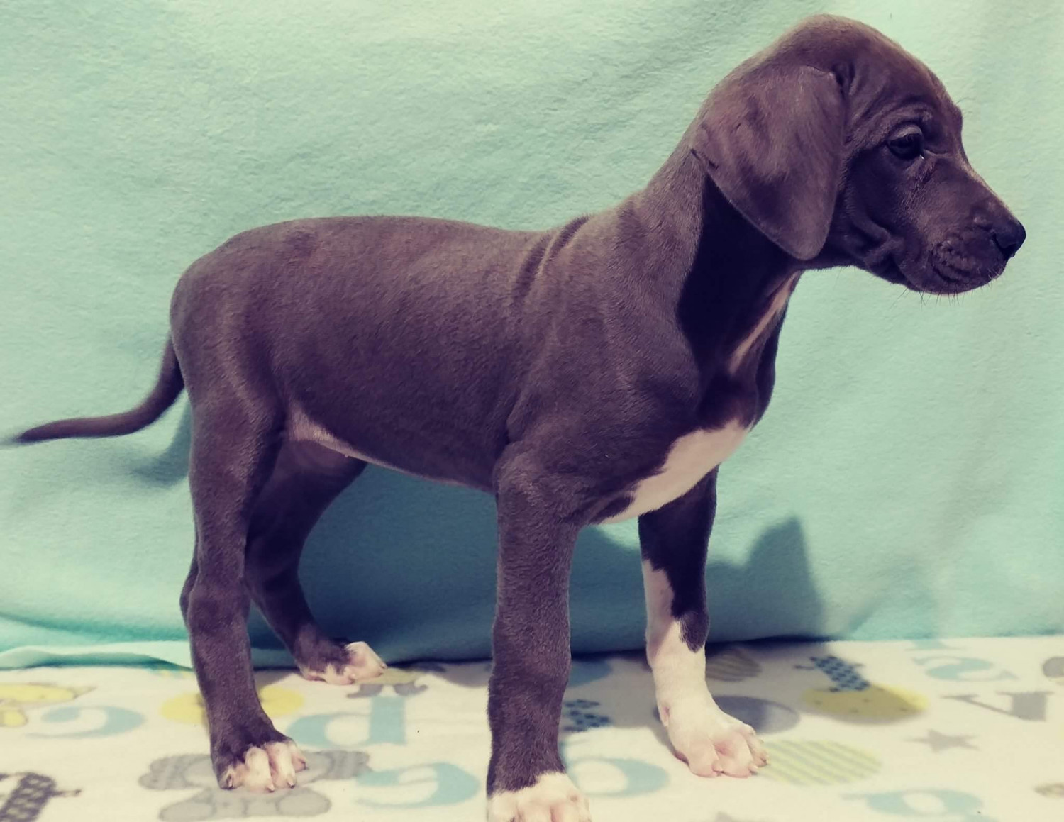 Great Dane Puppies For Sale Springfield Mo 179799