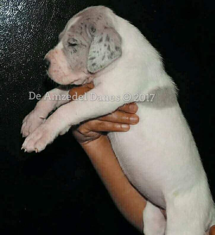 Great Dane Puppies For Sale New Mexico 528 Nm 205096