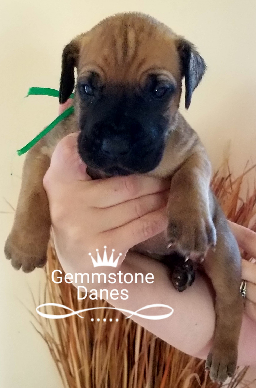 Great Dane Puppies For Sale Billings Mt 253166