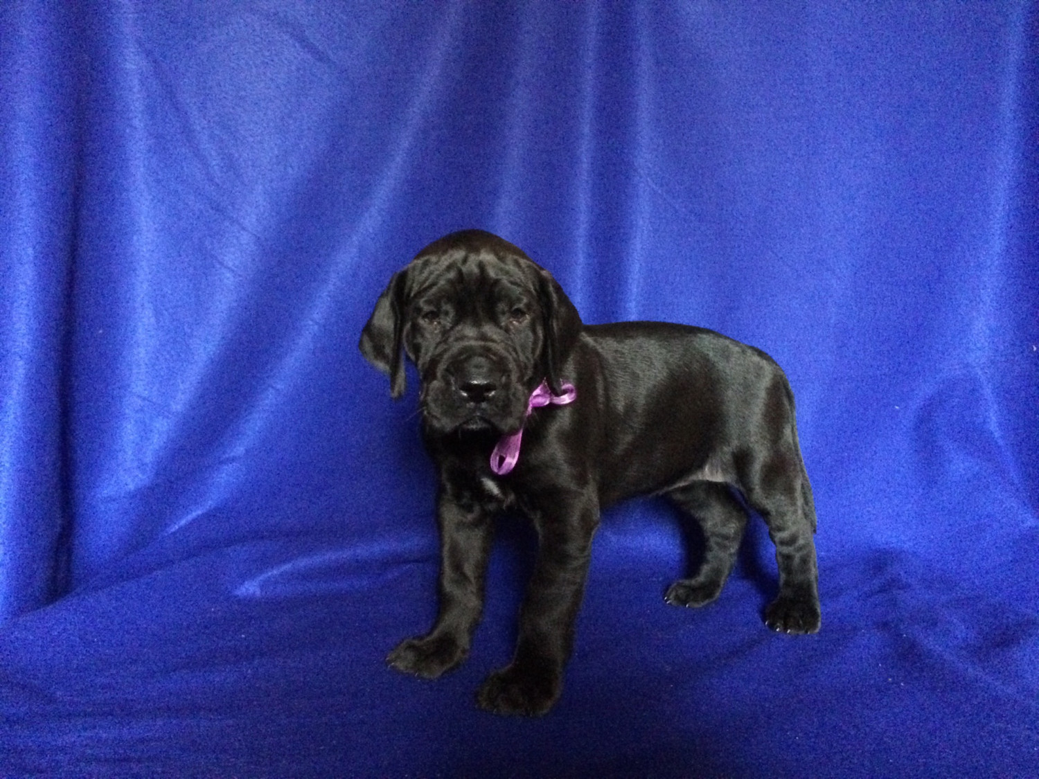 Great Dane Puppies For Sale Vienna Mo 272647 Petzlover