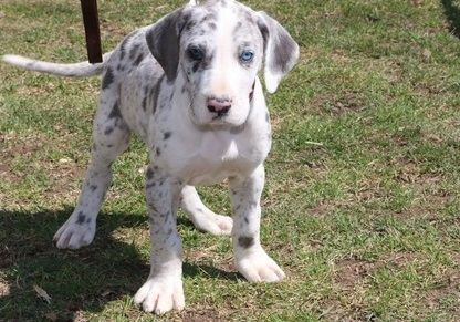Great Dane Puppies For Corpus