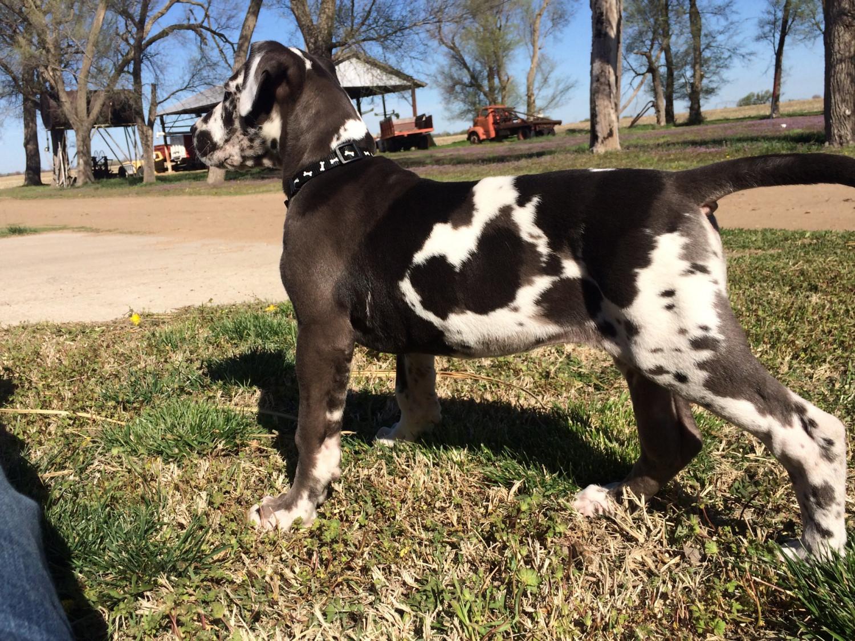 Great Dane Puppies For Sale Omaha Ne 297742 Petzlover