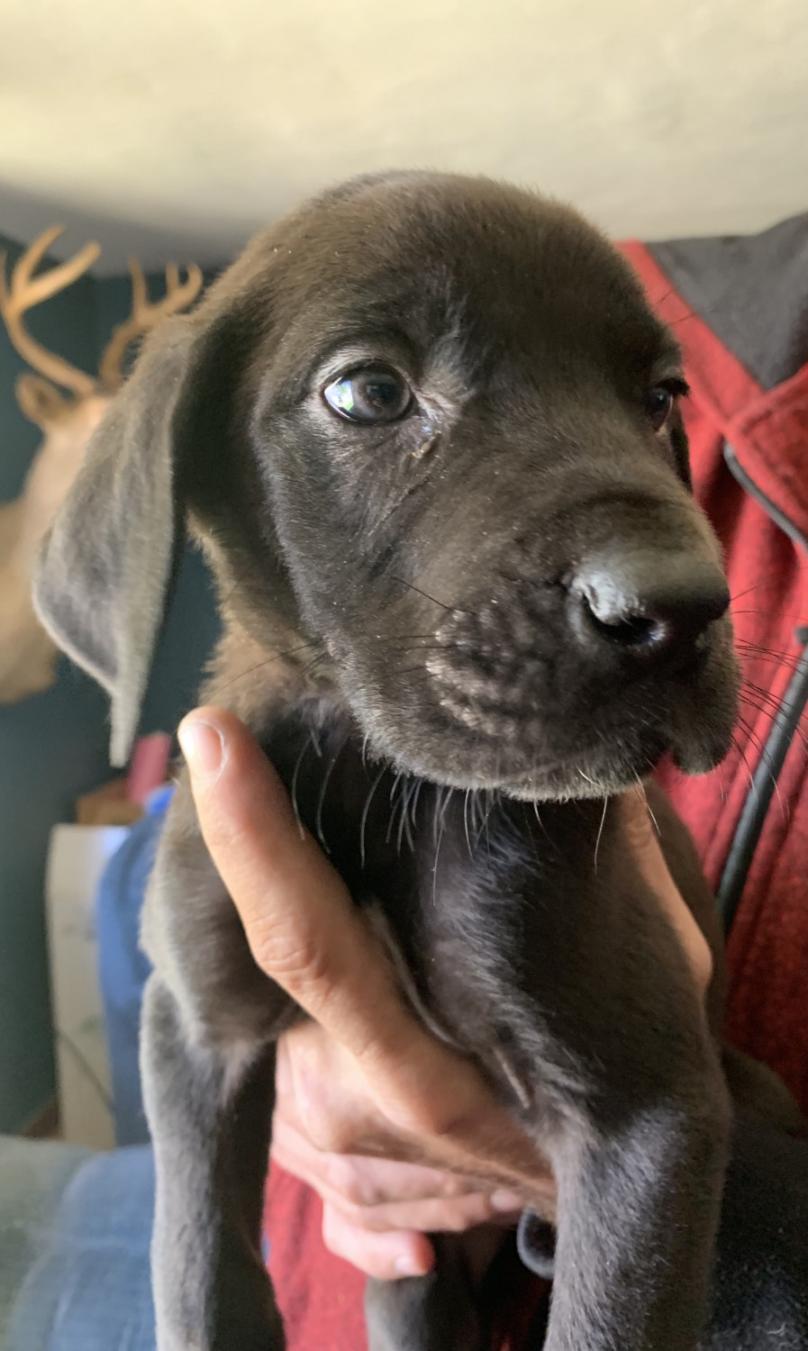 Great Dane Puppies For Sale Rockford Il 299558