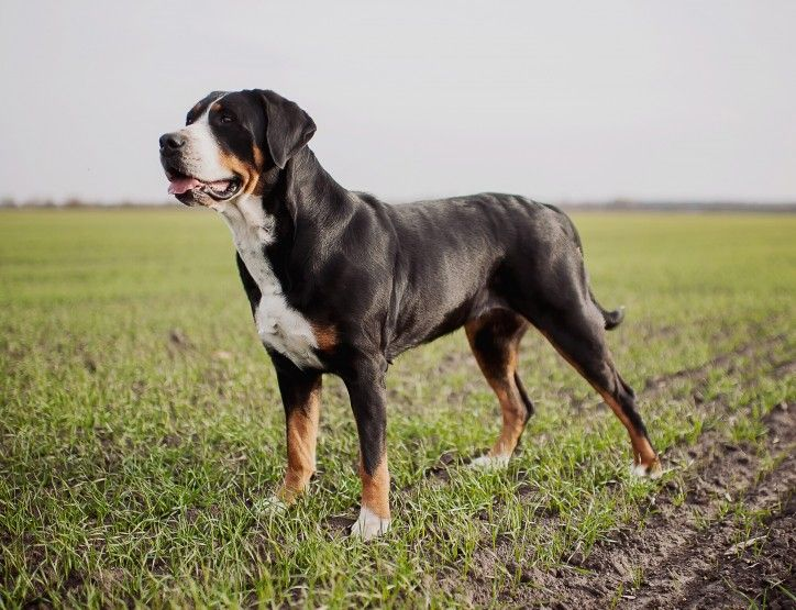Greater Swiss Mountain Dog Puppies For Sale | Los Angeles ...