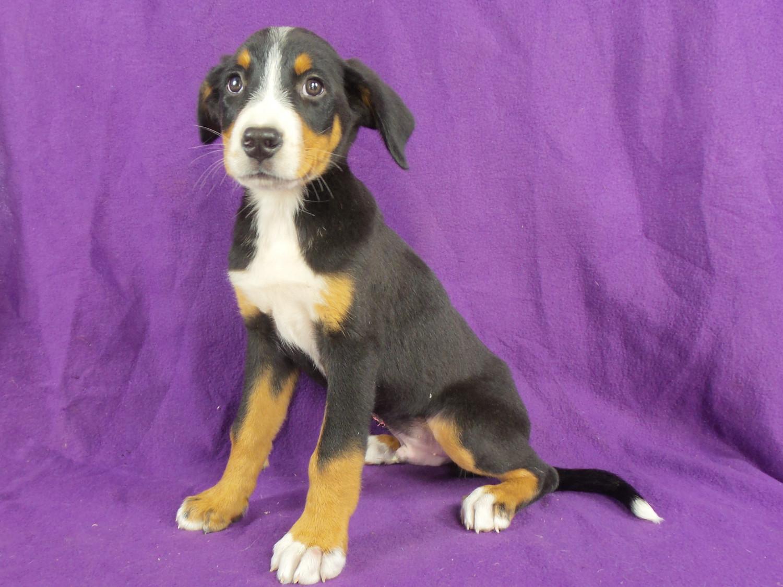 Greater Swiss Mountain Dog Puppies For Sale | Iowa 22, IA ...