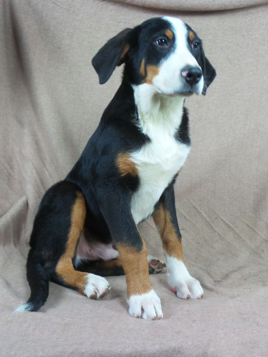 Greater Swiss Mountain Dog Puppies For Sale Iowa 22 Ia