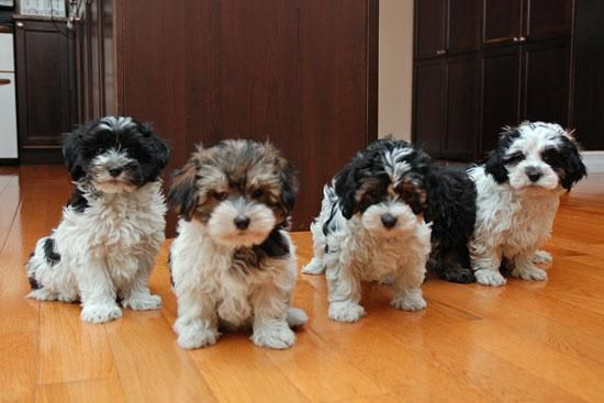 Havanese Puppies For Sale Montgomery Al 149483