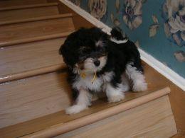 Havanese Puppies For Sale Cedar Rapids Ia 158632
