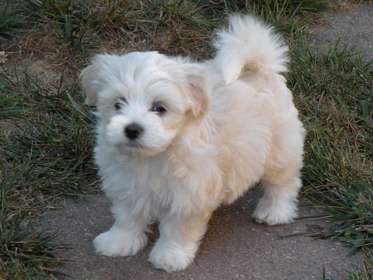 Havanese Puppies For Sale Cedar Rapids Ia 161302