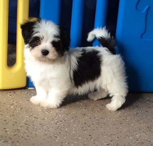 Havanese Puppies For Sale Austin Street Tx 184133
