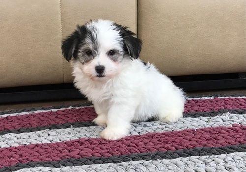 Havanese Puppies For Sale Orangeburg Sc 249776