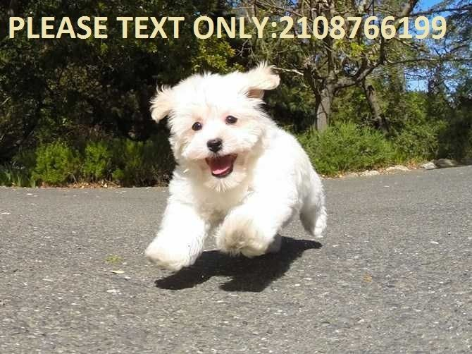 Puppies For Sale In Albuquerque >> Havanese Puppies For Sale | Albuquerque, NM #254790