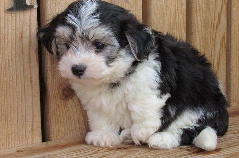 Havanese Puppies For Sale Columbia Sc 286206 Petzlover