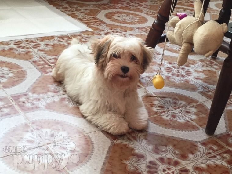 Havanese Puppies For Sale | California Street, CA #287202