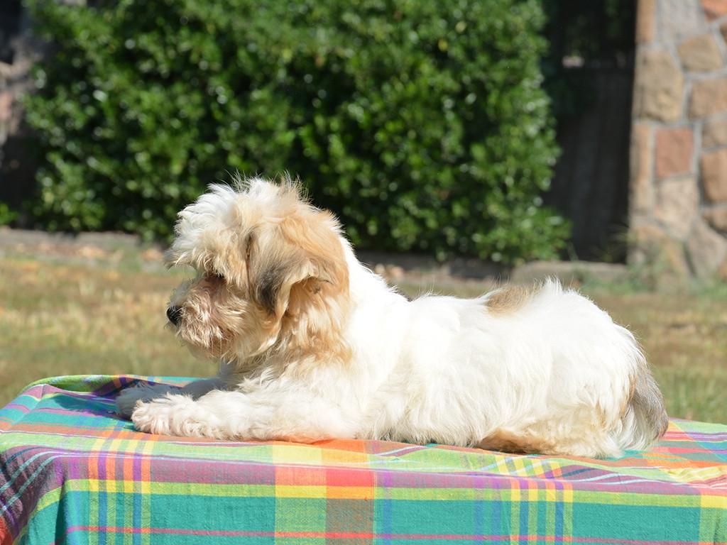 Havanese Puppies For Sale   California Street, CA #287252